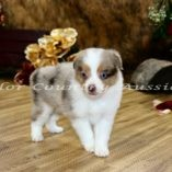 Red Merle Male 1 (11)