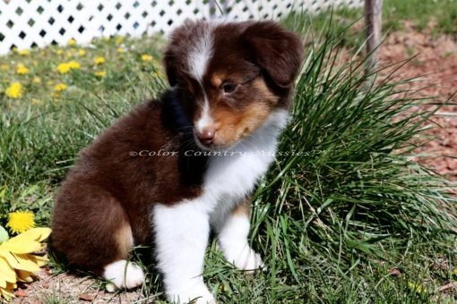 Mini Aussies Toy Aussie Color Country Aussies Red Tri IMG_2521 (156)-001
