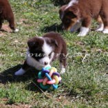 Mini Aussies Toy Aussie Color Country Aussies Red Tri IMG_2521 (59)-001
