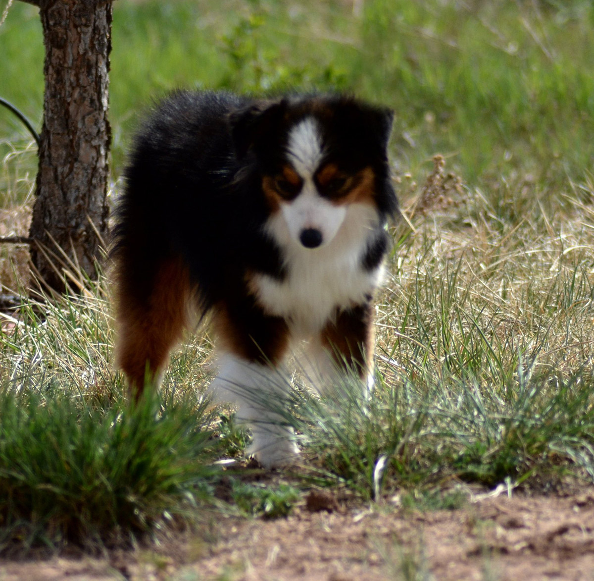Color Country Aussies Breeders of Miniature and Toy Australian Shepherds