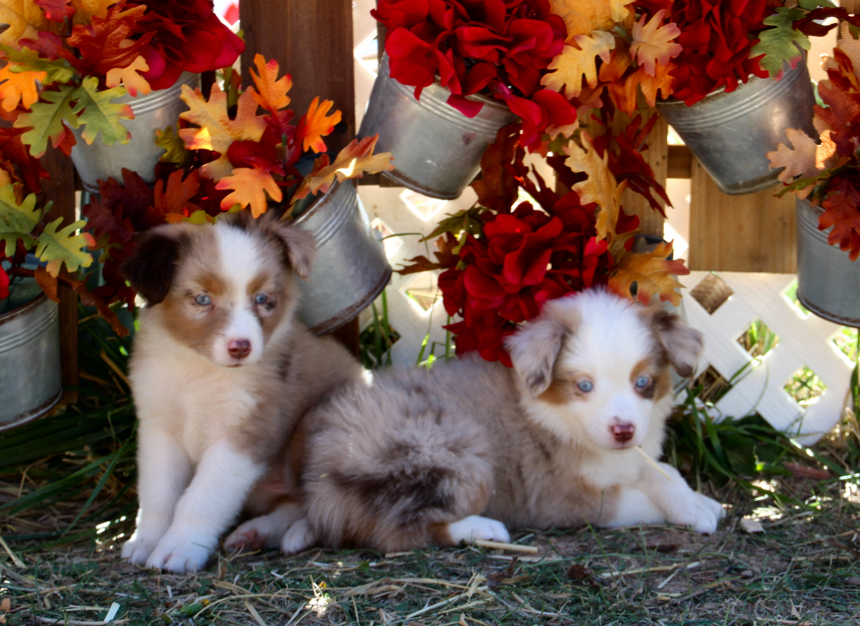 Color Country Aussies -- Breeders of Miniature and Toy Australian Shepherds