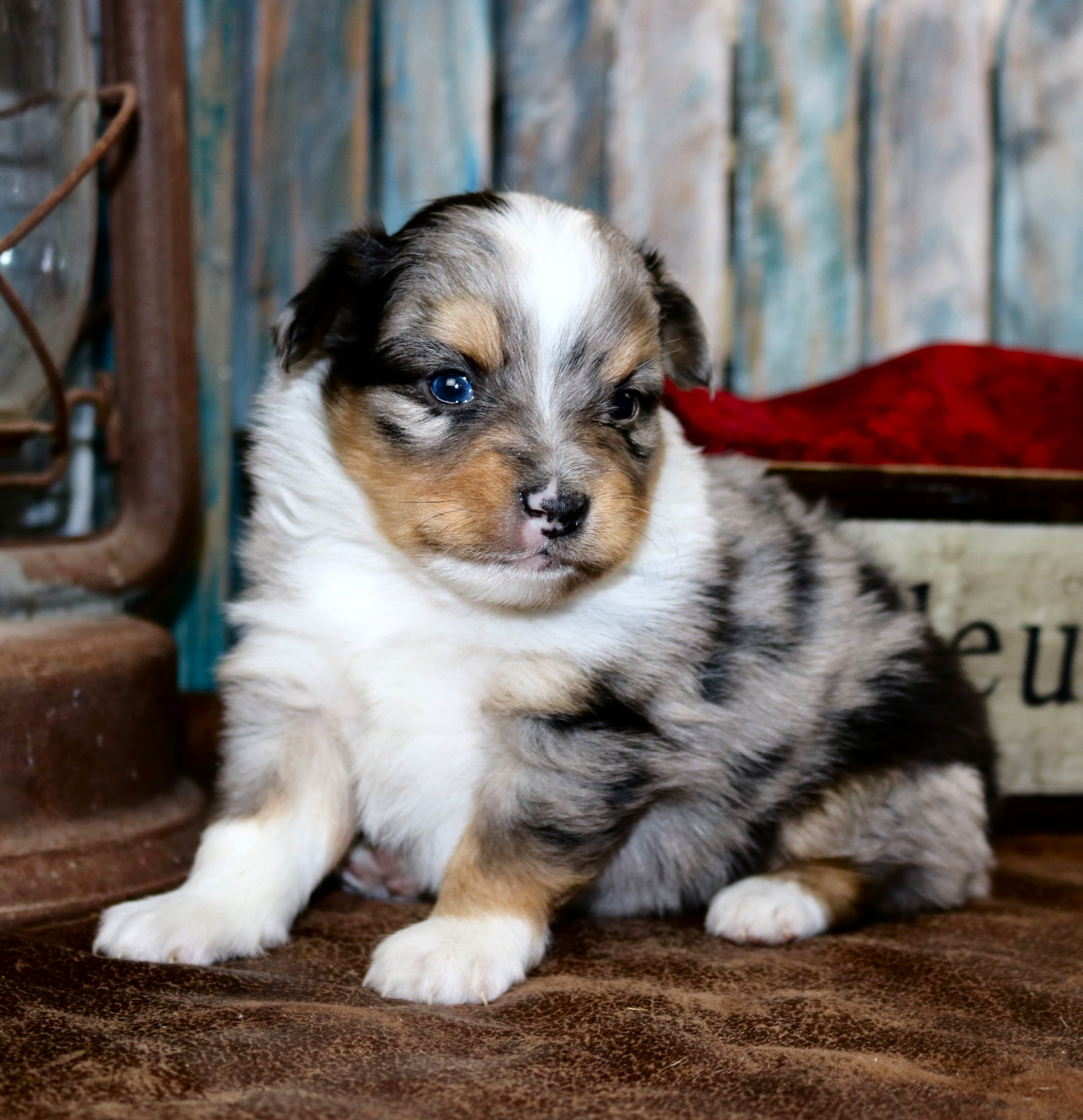 Boot's Blue Merle Male 1   Color Country Aussies - photo#32