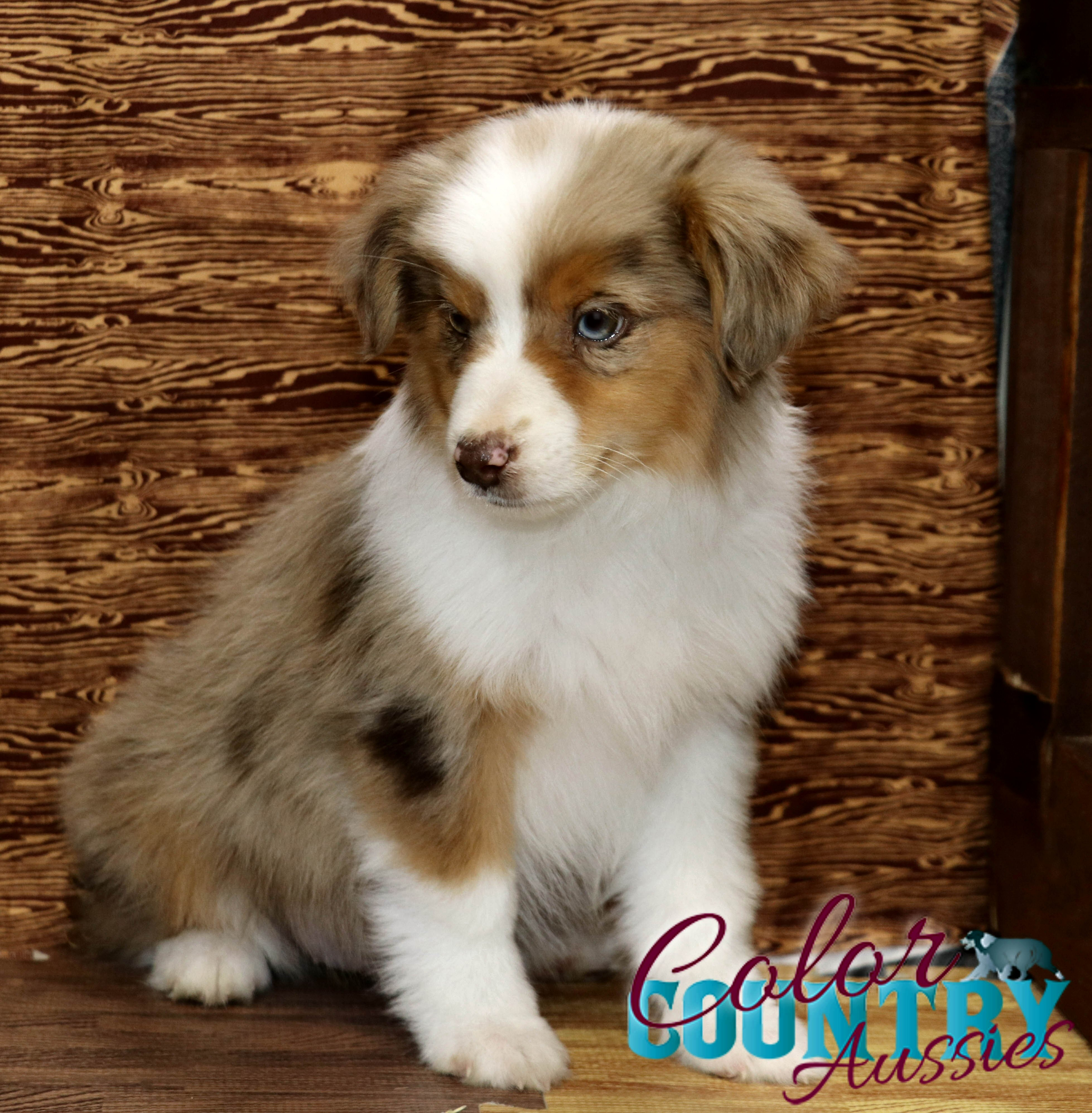 storm s red merle female color country aussies. Black Bedroom Furniture Sets. Home Design Ideas