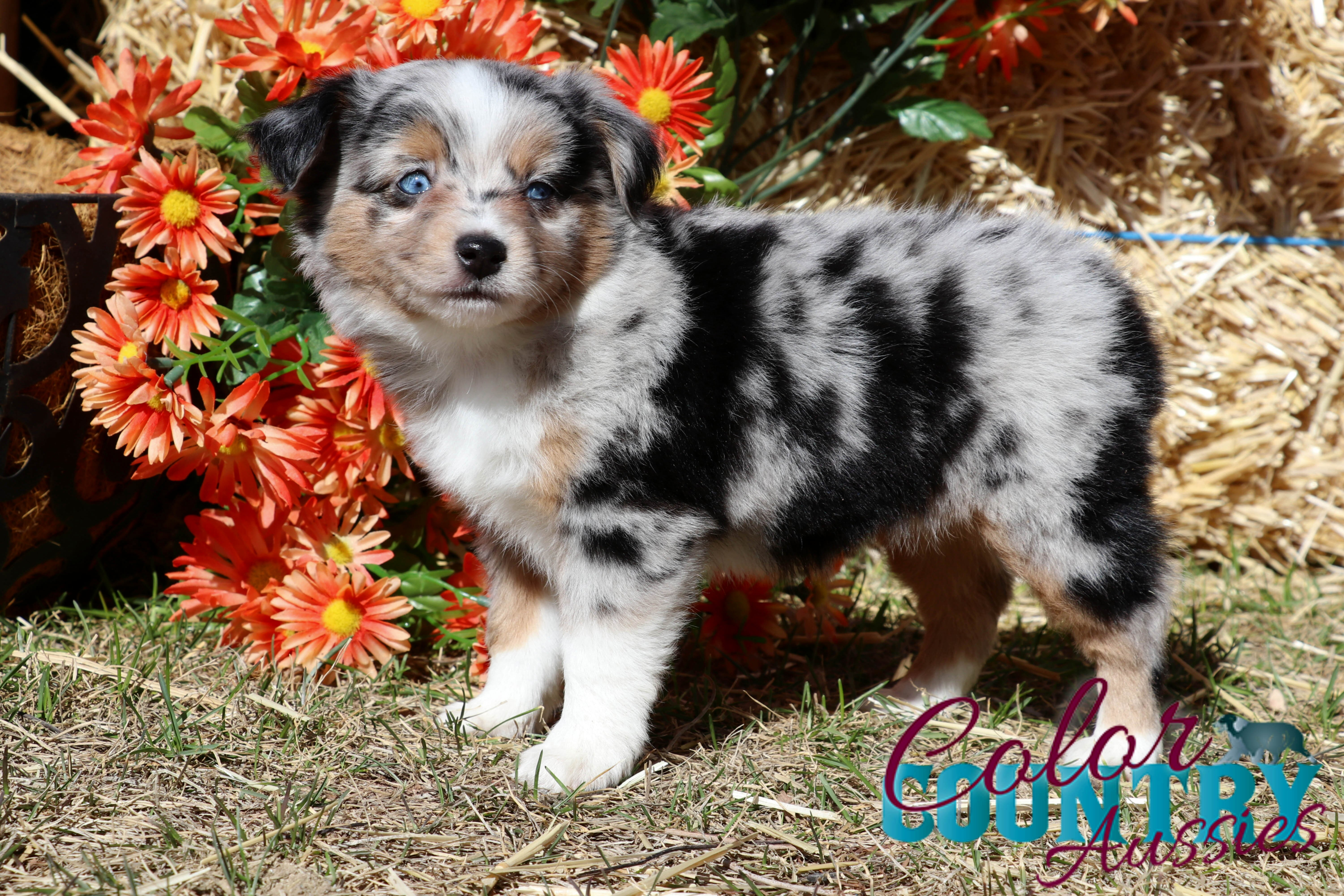 Chage's Blue Merle Female Color Country Aussies (12)