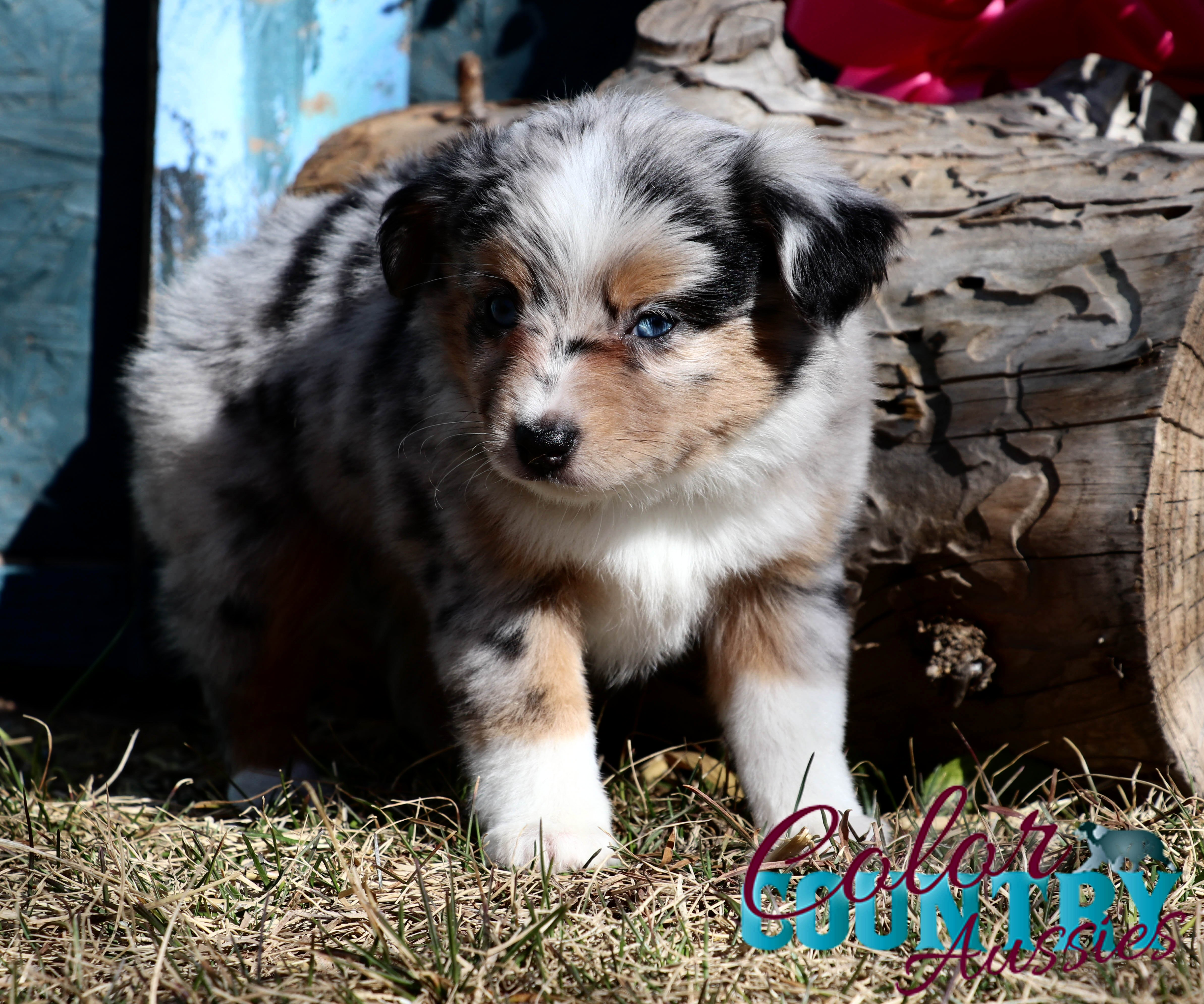 Chage's Blue Merle Female Color Country Aussies (5)