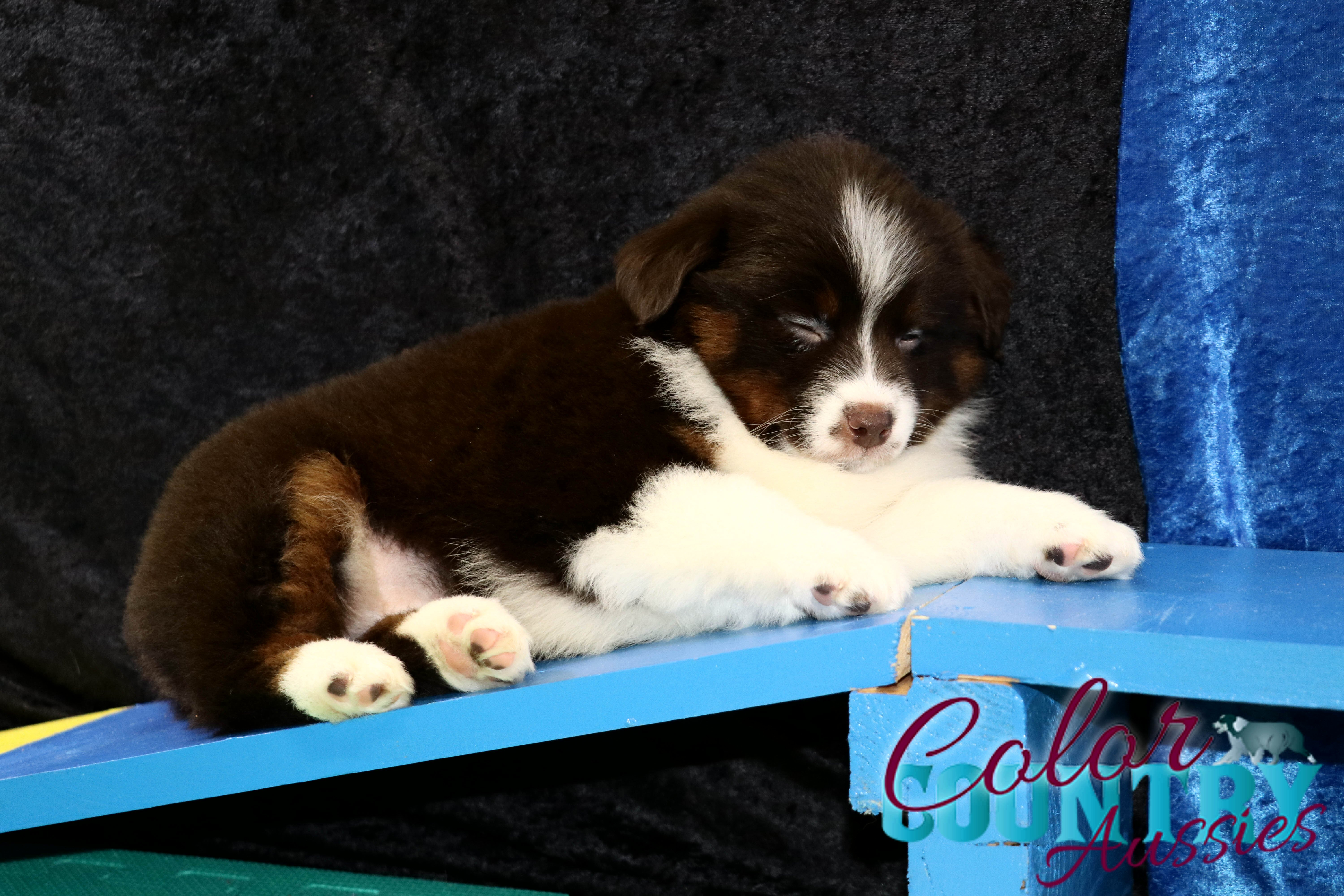 Delta's Red Tri Female Mini Aussie Color Country Aussies (12)