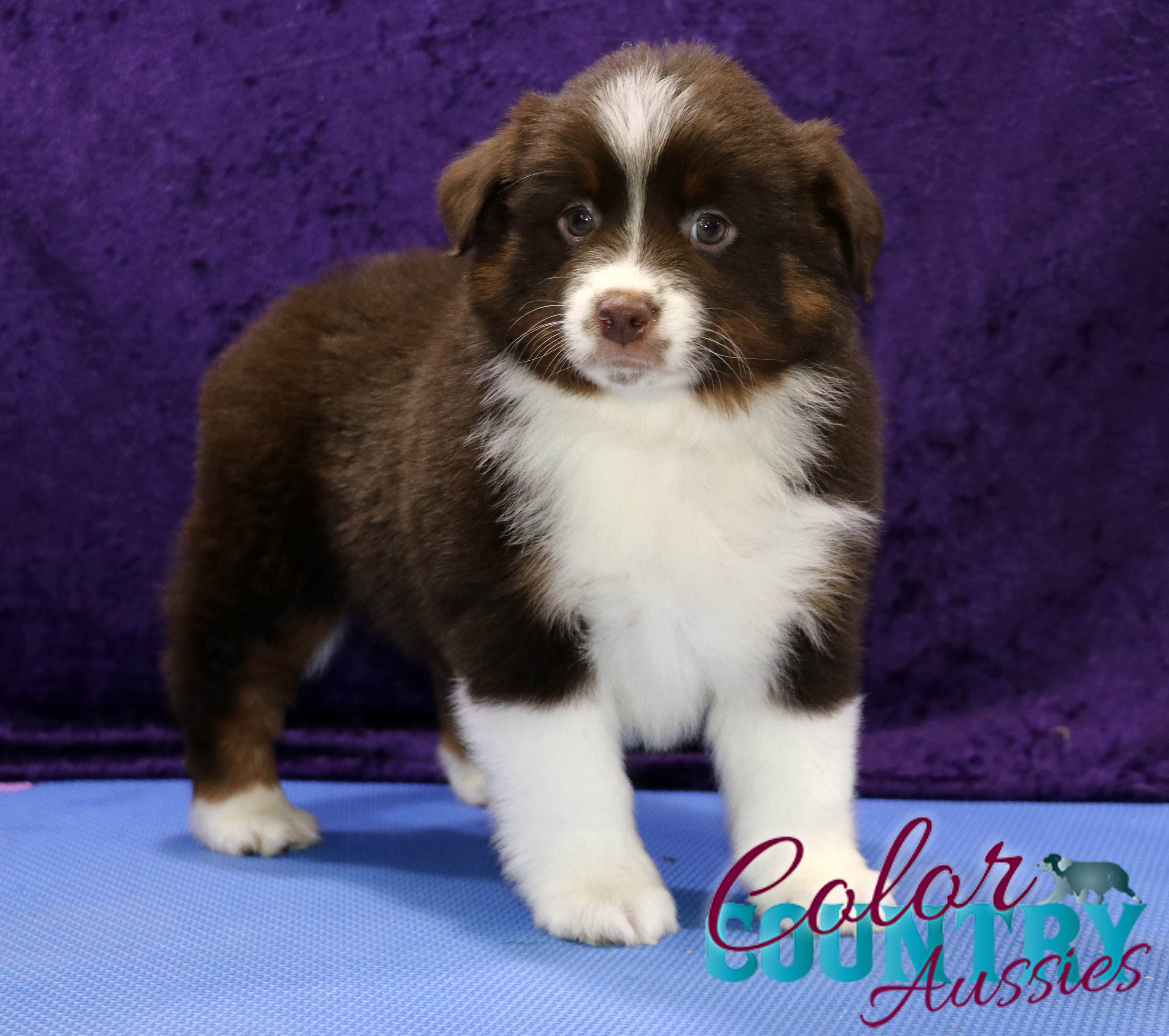 Delta's Red Tri Female Mini Aussie Color Country Aussies (3)