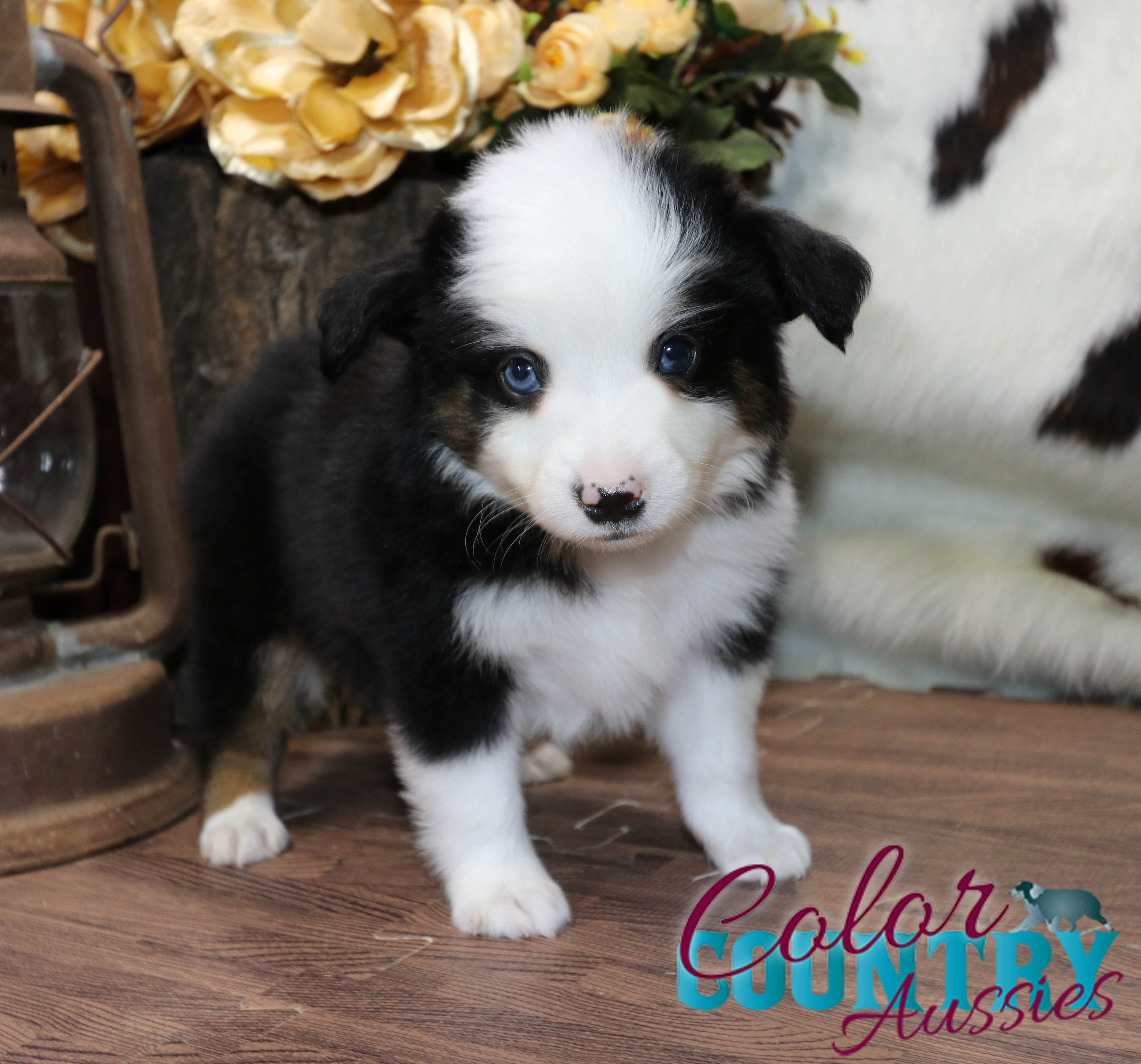 Sweet Addiction BTM 2 Blue Eyed Tri Color Country Aussies (7)