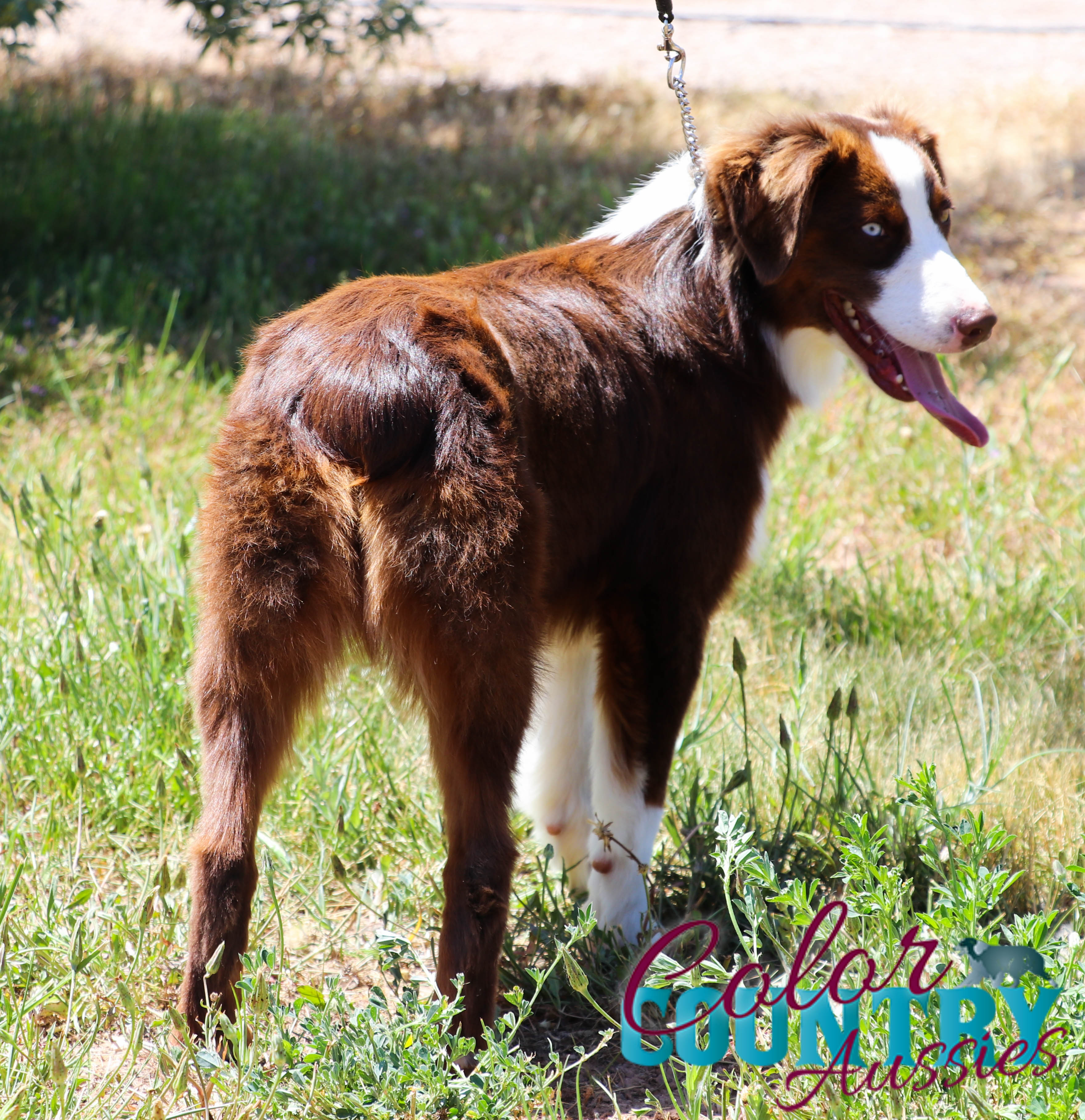 Color Countrys Sip Red Tri Female Miniature Australian Shephred (1)