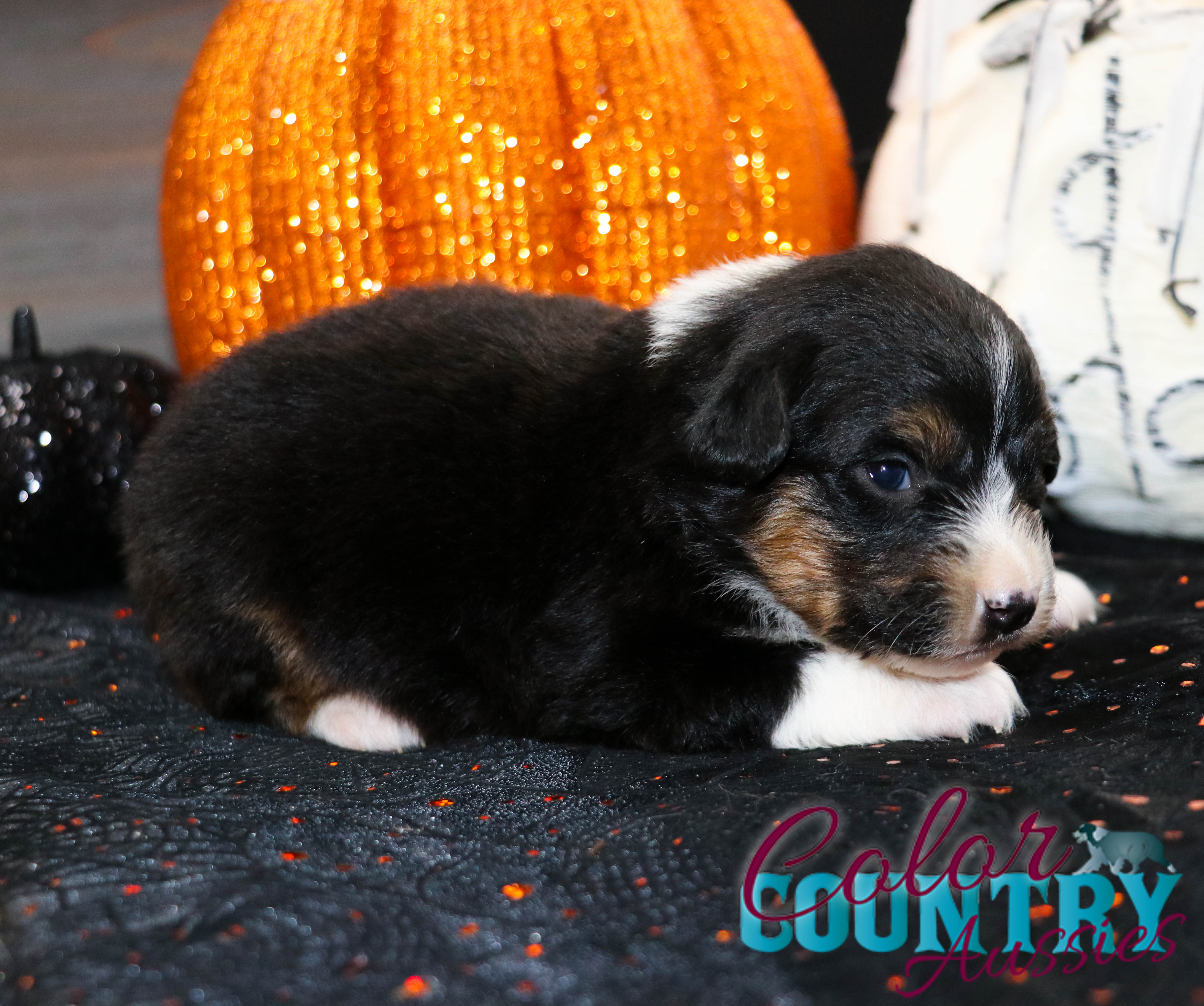 Riot Black Tri Female Mini Aussie 3 Weeks Old #colorcountryaussies #miniaussie (2)
